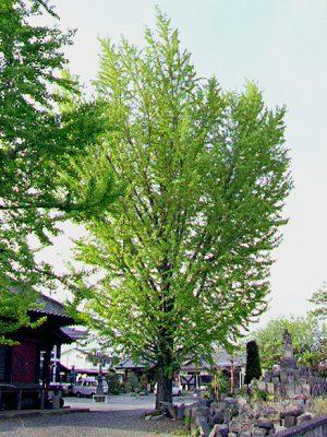 Ginkgo biloba - Maidenhair Tree (Ginkgoaceae Images)