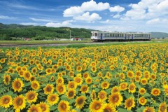 Sunflowers on the Furano line