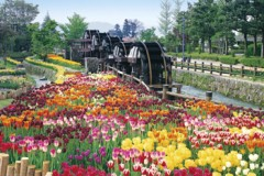 Tulips in the waterwheel park, Toyama