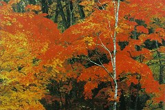 Dazzling maples